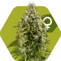 Pineapple Express Feminised Cannabis Seeds | Zambeza Seeds