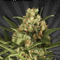 Pineapple Punch Auto flowering Feminised Cannabis Seeds | Auto Seeds