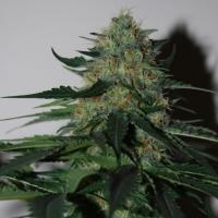 Pineapple Gum Feminised Cannabis Seeds | Black Skull Seeds