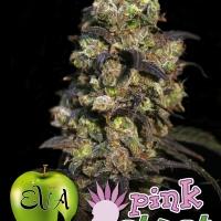 Pink Plant Feminised Cannabis Seeds