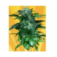 Pixie Punch Auto Feminised Cannabis Seeds