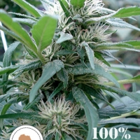 Apondo Mystic Regular Cannabis Seeds | Seeds of Africa