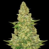 Power VIP Feminised Cannabis Seeds