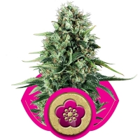 Power Flower Feminised Cannabis Seeds | Royal Queen Seeds