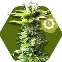 Power Kush Auto Feminised Cannabis Seeds | Zambeza Seeds