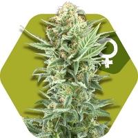 Power Kush Feminised Cannabis Seeds | Zambeza Seeds