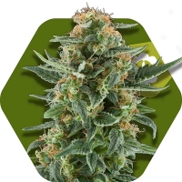 Power Plant XL Feminised Cannabis Seeds | Zambeza Seeds