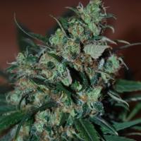 Power Bud Feminised Cannabis Seeds