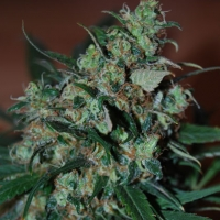 Power Bud Feminised Cannabis Seeds | Black Skull Seeds