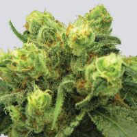 Pre-99 Big Bud Feminised Cannabis Seeds | Nirvana  Seeds