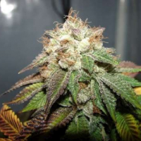 Pre98 Bubba BX2 Feminised Seeds | Cali Connection