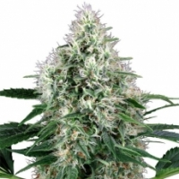 Power Plant Auto Feminised Cannabis Seeds | White Label Seed Company