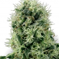 Pure Power Plant Feminised Cannabis Seeds | White Label Seed Company