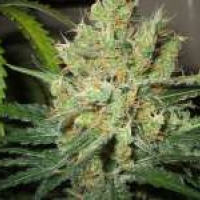 Nirvana Pure Power Plant (PPP) Feminised Cannabis Seeds