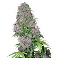 Purple Bud Feminised Cannabis Seeds | White Label Seed Company
