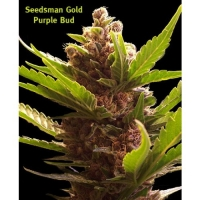 Purple Bud Regular Cannabis Seeds | Seedsman