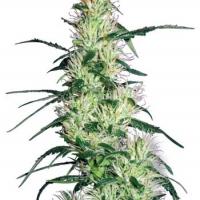 Purple Haze Feminised Cannabis Seeds | White Label Seed Company
