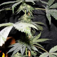 Purple Pineberry Regular Cannabis Seeds | Secret Valley