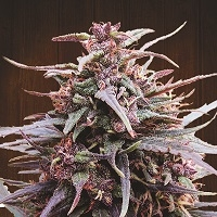 Purple Haze x Malawi Feminised Cannabis Seeds | Ace Seeds