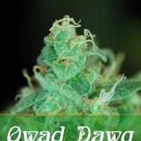 Buy Alphakronik Genes Qwad Dawg Regular Cannabis Seeds