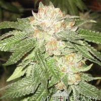 Rascal OG Regular Cannabis Seeds | Apothecary Genetics Seeds