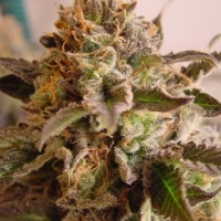 Rock Bud Regular Cannabis Seeds | Soma Seeds