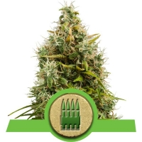 Royal AK Auto Feminised Cannabis Seeds | Royal Queen Seeds