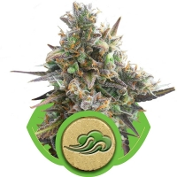 Royal Bluematic Auto Feminised Cannabis Seeds | Royal Queen Seeds