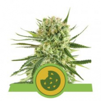Royal Cookies Auto Feminised Cannabis Seeds | Royal Queen Seeds