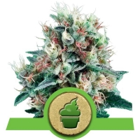Royal Creamatic Auto Feminised Cannabis Seeds | Royal Queen Seeds