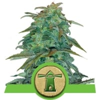 Royal Haze Auto Feminised Cannabis Seeds | Royal Queen Seeds