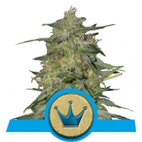 Royal Highness Feminised Cannabis Seeds | Royal Queen Seeds
