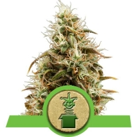 Royal Jack Auto Feminised Cannabis Seeds | Royal Queen Seeds