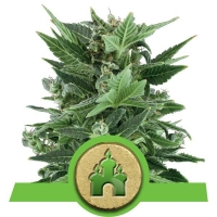 Royal Kush Automatic Feminised Cannabis Seeds | Royal Queen Seeds