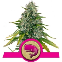 Royal Moby Feminised Cannabis Seeds | Royal Queen Seeds