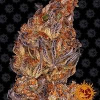 Runtz Auto Feminised Cannabis Seeds   Barney's Farm