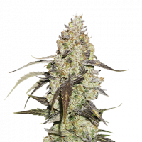 Runtz Feminised Cannabis Seeds | Seed Stockers