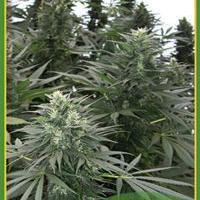 Safari Mix (20 seeds) Regular Cannabis Seeds
