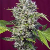San Fernando Lemon Kush Feminised Cannabis Seeds | Sweet Seeds