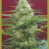 Satori Regular Cannabis Seeds | Mandala Seeds