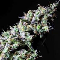 Icer Feminised Cannabis Seeds | R-Kiem Seeds