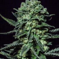 Muse Feminised Cannabis Seeds | R-Kiem Seeds