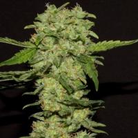 Portela Feminised Cannabis Seeds | R-Kiem Seeds