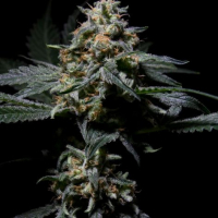 R-Kiem Regular Cannabis Seeds | R-Kiem Seeds