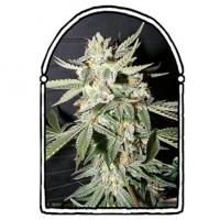 Confidential Medicine Feminised Cannabis Seeds | Kush Brothers