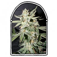 Confidential Medicine Feminised Cannabis Seeds | Kush Brothers
