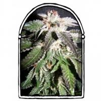 Confidential OG Feminised Cannabis Seeds | Kush Brothers