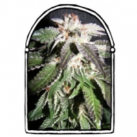 Confidential OG Feminised Cannabis Seeds | Kush Brothers