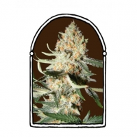 Exotic Kush Feminised Cannabis Seeds | Kush Brothers
