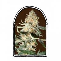 Exotic Kush Feminised Cannabis Seeds | Kush Brothers